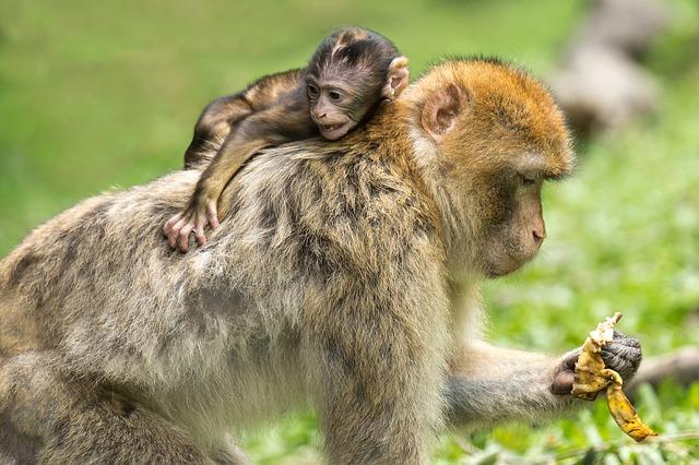maimuță pierdere în greutate